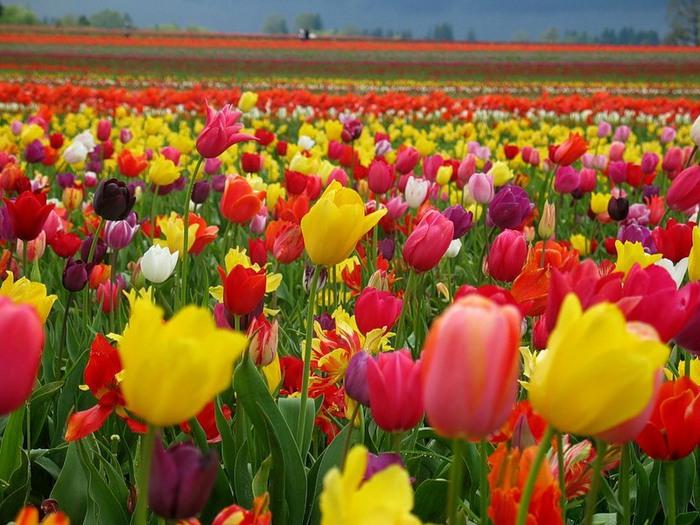 тюльпаны5 (700x525, 126Kb)