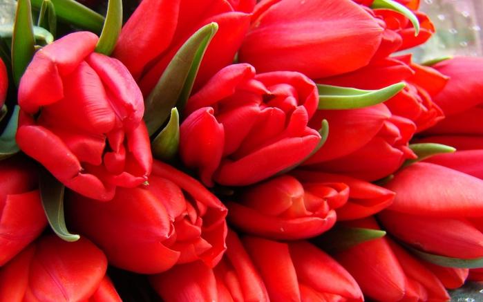 тюльпаны7 (700x437, 218Kb)