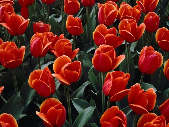 тюльпаны8 (700x525, 180Kb)