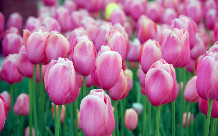 тюльпаны10 (700x437, 214Kb)