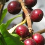 Kofejnoe-derevo1-150x150 (150x150, 8Kb)