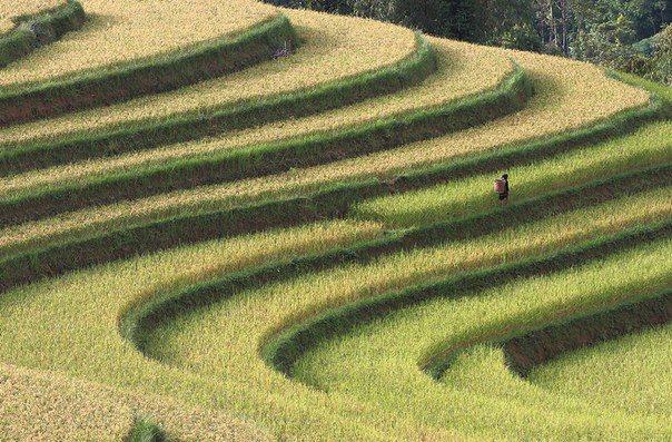 Рисовые террасы во Вьетнаме (604x397, 89Kb)