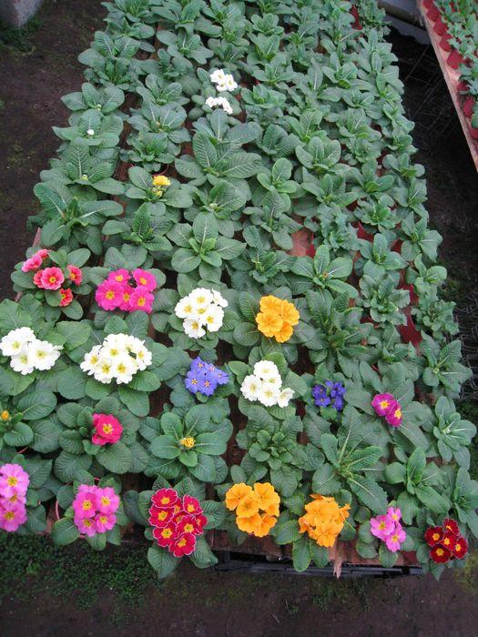 Выращивание примулы в теплицах 21