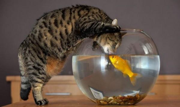 2835299_catandgoldfish01 (600x356, 43Kb)