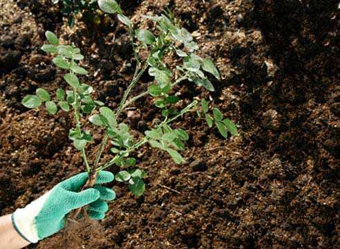 Перед посадкой просматривайте саженцы, удаляйте сломанные и слабые ветки, а также поврежденные корни.