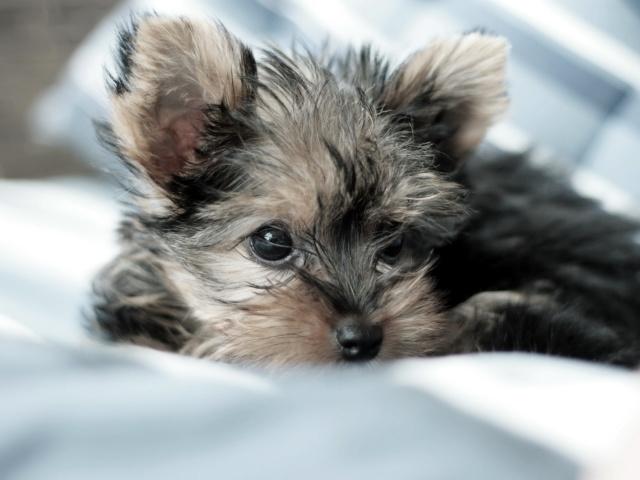 Animals_Dogs_Small_dog_033566_29 (640x480, 83Kb)