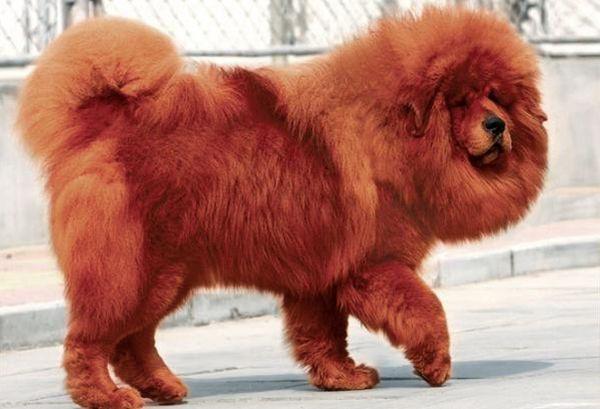 Самая дорогая порода собак в мире драгоценный любимец