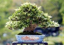 4839503_bonsai (208x146, 11Kb)