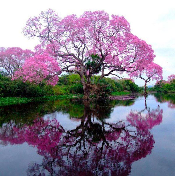 Муравьиное дерево (Tabebuia impetiginosa), растущее в лесах Южной Америки (601x604, 85Kb)