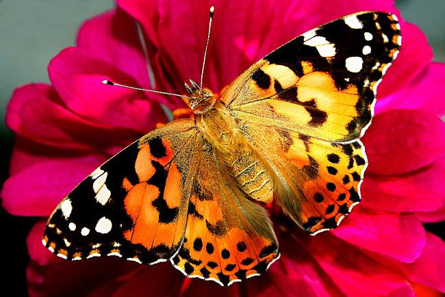 ...Петербурге можно получить свою долю тропических радостей: в городе работает несколько выставок живых бабочек.