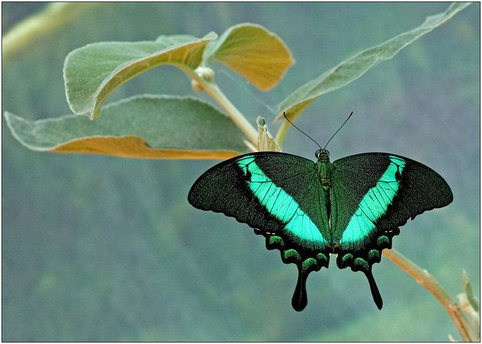 Бабочки - это лето, это солнце, это воспоминание о детстве.  А тропические бабочки - еще и очень ярко и красиво.