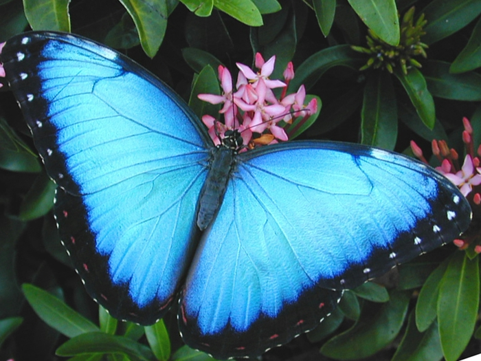 common-blue-morpho (700x525, 273Kb)
