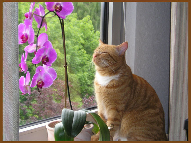орхидеи и кот (659x494, 77Kb)