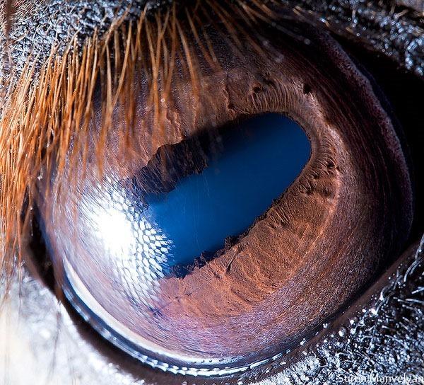 Сурен Манвесян. Фотографии глаз животных крупным