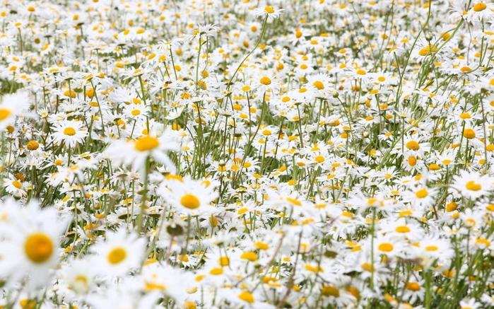 Картинки полевых цветов 5