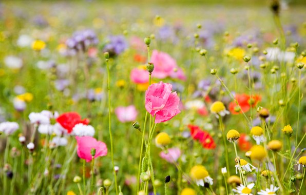 картинки луговых цветов: