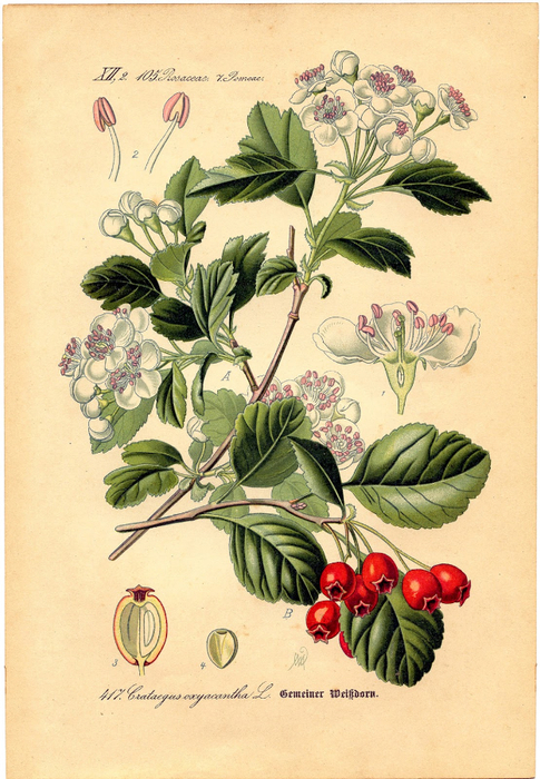 botanical-berry-Graphics-Fairy-sm (485x700, 453Kb)