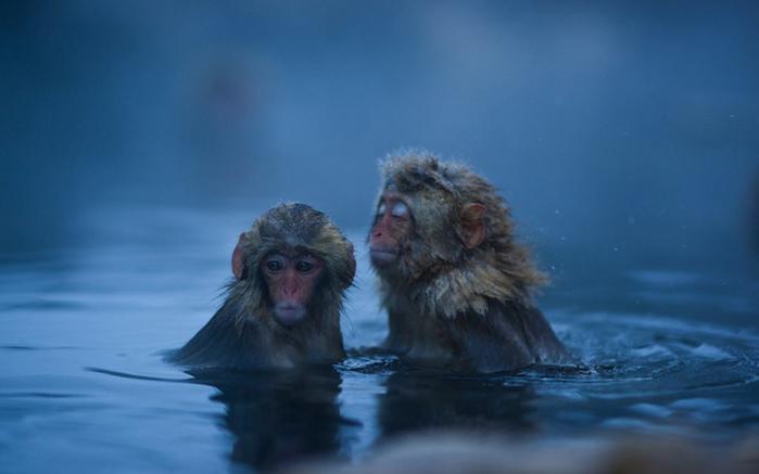 японские макаки купаются в горячих источниках Джигокудани  (700x437, 153Kb)