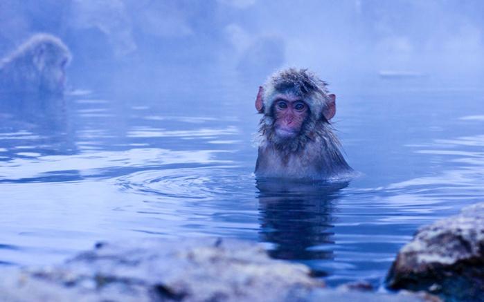японские макаки купаются в горячих источниках Джигокудани 1 (700x437, 202Kb)