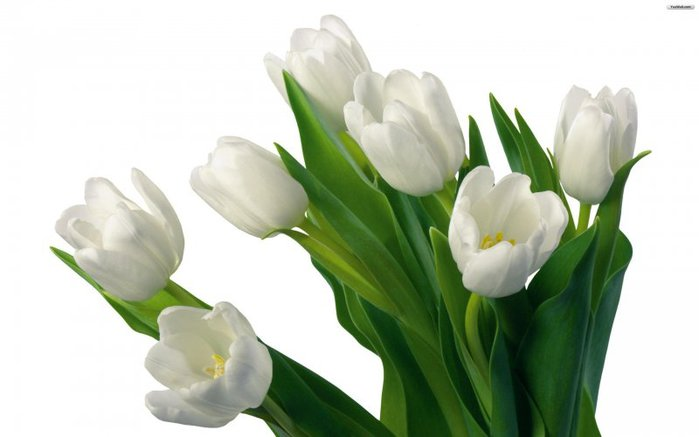 25281_f_21_136_whute_tulips_wallpaper_39c5e (700x437, 33Kb)