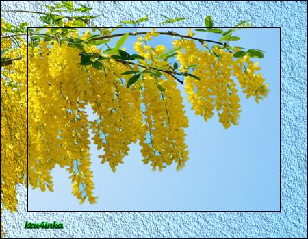 Желтая-акация (450x349, 350Kb)