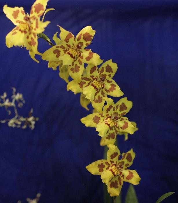Самые красивые орхидеи Венесуэлы. Фотографии