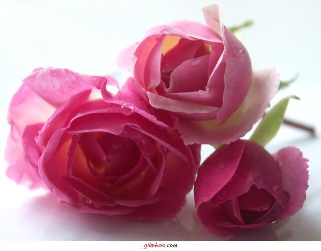 розы (640x502, 26Kb)