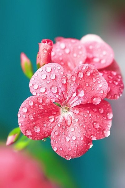 Pink flower by poteidia.
