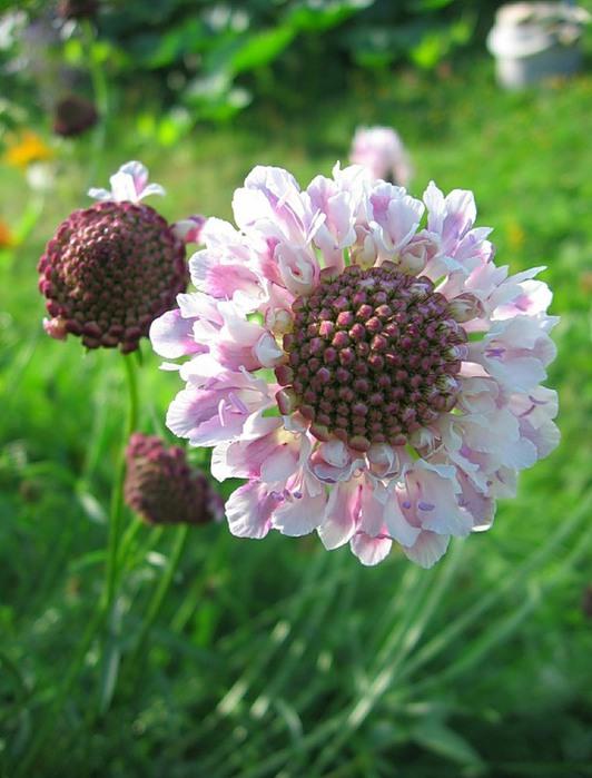 Скабиоза цветы
