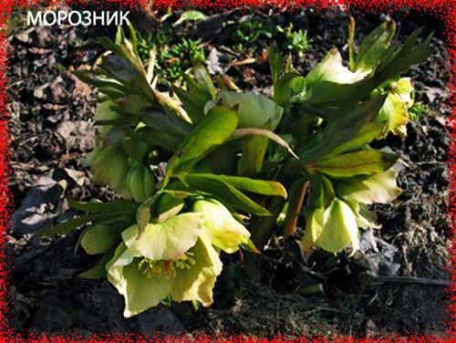 3755121_moroznikkavkazskii (500x376, 111Kb)