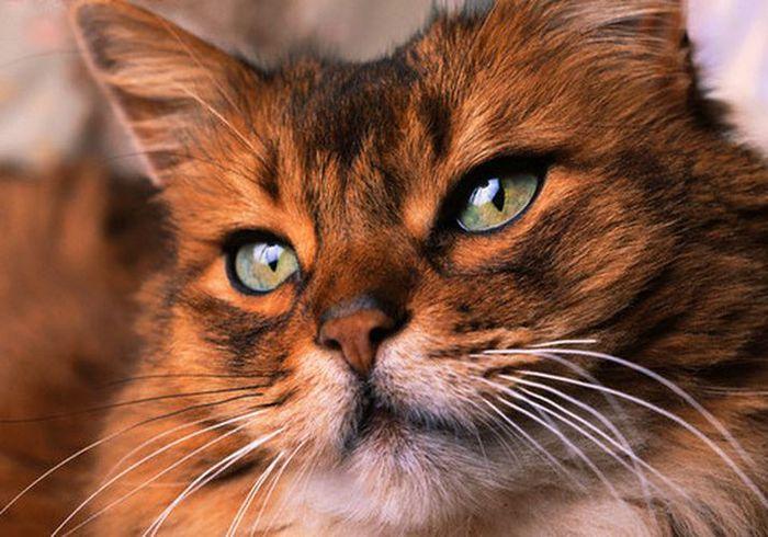 Научная информация и невежественные домыслы про кошек 1