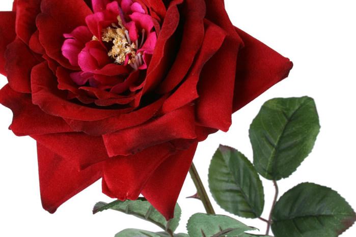 Rosa (1) (700x466, 79Kb)