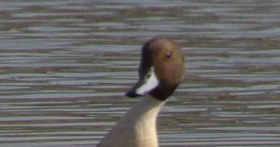 2447247_duck (393x207, 12Kb)