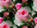 Превью розовая (600x450, 79Kb)
