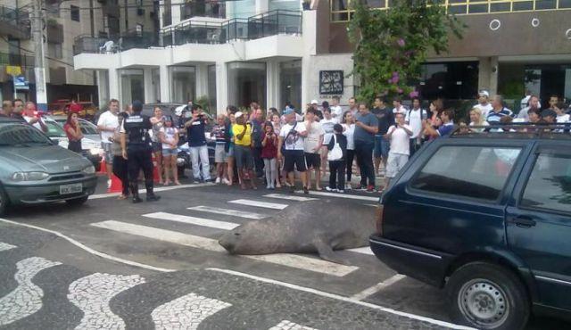 морской лев на улице в бразилии 1 (640x370, 50Kb)