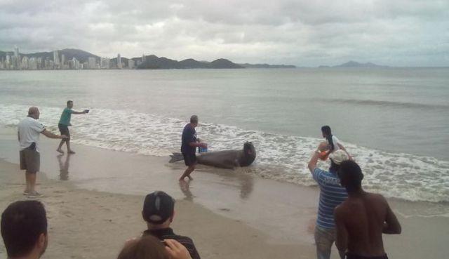 морской лев на улице в бразилии 3 (640x369, 26Kb)
