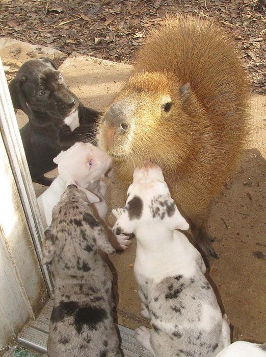 капибара и щенки фото (522x700, 191Kb)