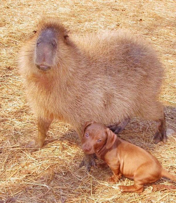 капибара и щенки фото 2 (600x692, 232Kb)