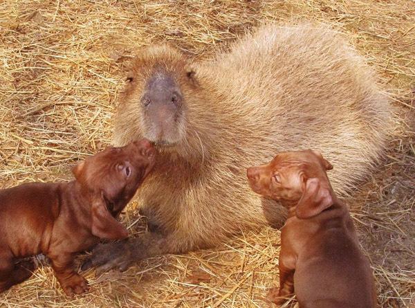 капибара и щенки фото 4 (600x445, 146Kb)