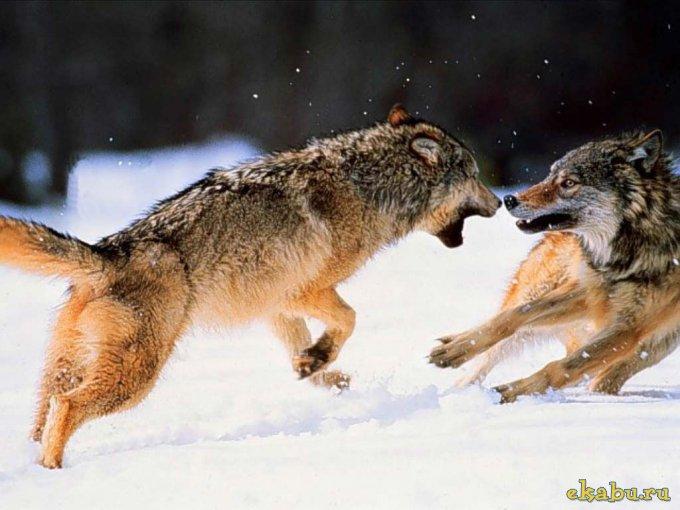 1289410961_wolves_07 (680x510, 61Kb)