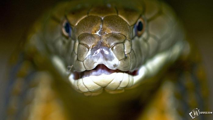 королевская кобра фото 1 (700x393, 108Kb)