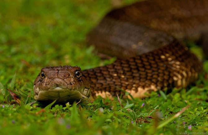 королевская кобра фото 3 (670x434, 46Kb)