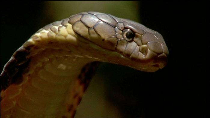 королевская кобра фото 6 (700x393, 132Kb)