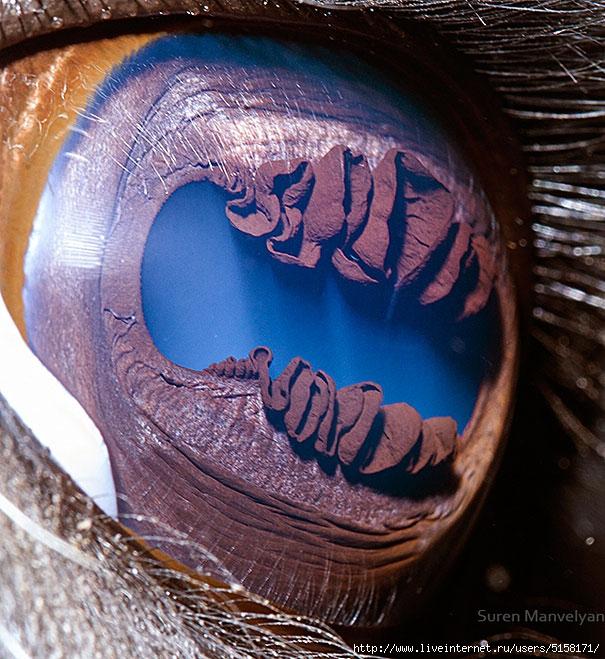 animal-eye-macro-suren-manvelyan-2 (605x659, 317Kb)