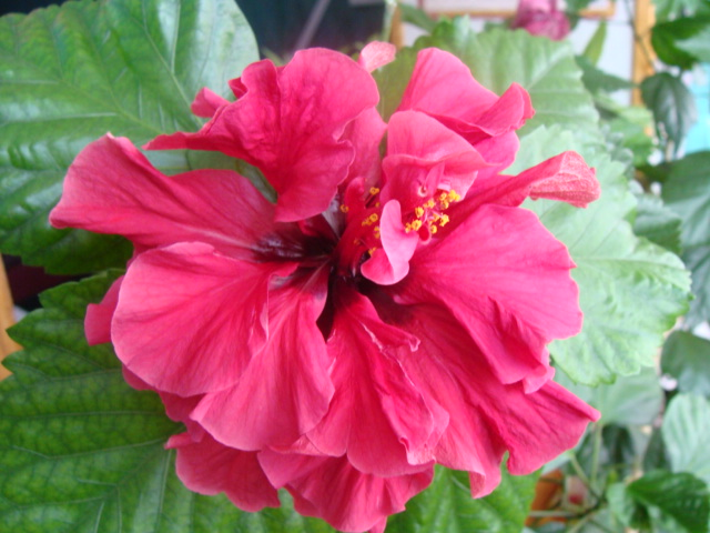 дерево китайская роза