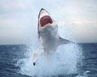 акула/2741434_16 (315x250, 12Kb)