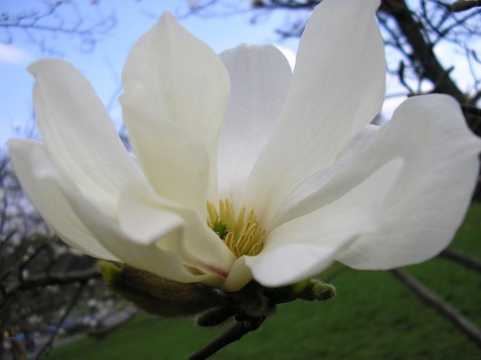 Цветок магнолия фото