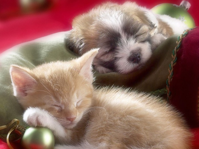 Sleepy_Whiskers_Kitten_and_Puppy (700x525, 93Kb)