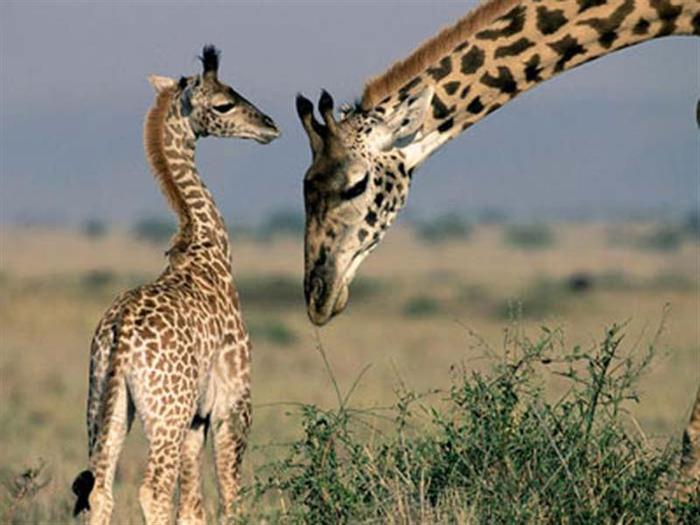 giraf1 (700x525, 50Kb)