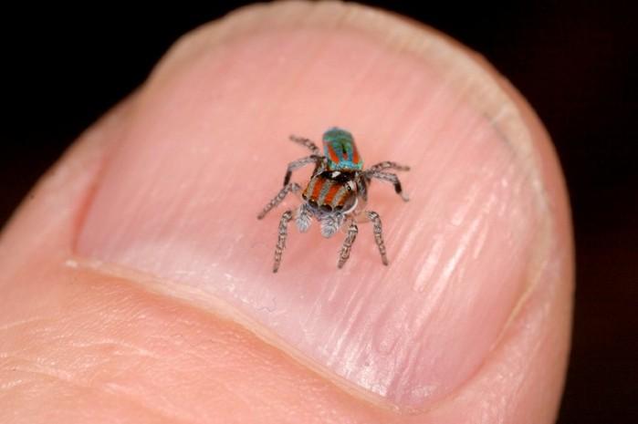 Peacock-spider-Maratus-volans-tavuskusu-oromcegi-14 (700x465, 45Kb)